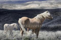 corona_foal