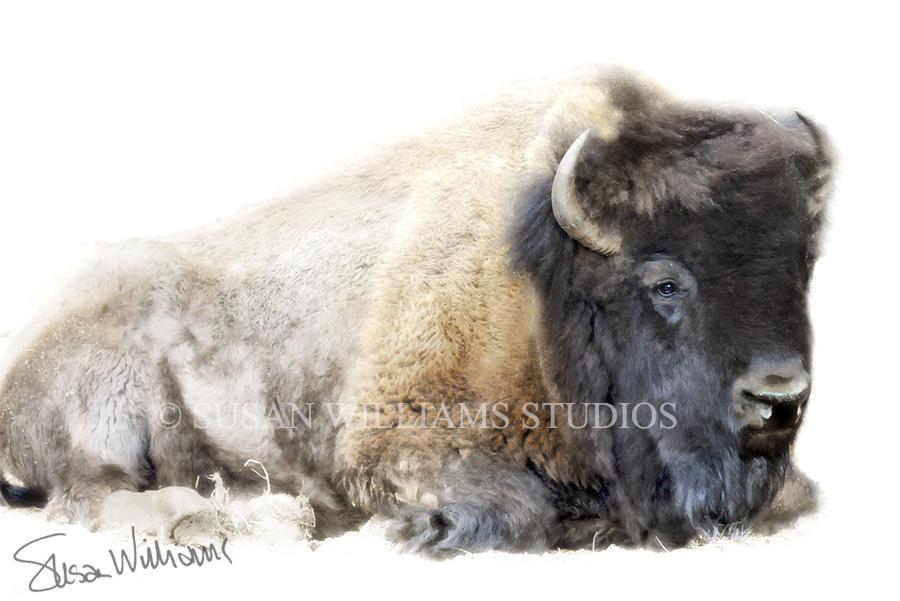 lying bison