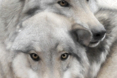 Wolves_V